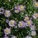 HEIRLOOM NON GMO Fleabane 100 seeds