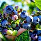 HEIRLOOM NON GMO Jersey Blueberry 50 seeds
