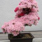 HEIRLOOM NON GMO Japanese Sakura Flowering Cherry Bonsai Tree 10 seeds
