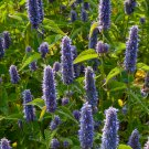HEIRLOOM NON GMO Anise Hyssop 1000 seeds