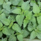 HEIRLOOM NON GMO Stinging Nettle 50 seeds