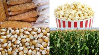 HEIRLOOM NON GMO South American Yellow Popcorn/Popping Corn 50 seeds