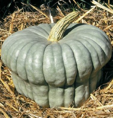HEIRLOOM NON GMO Queensland Blue Winter Squash 15 seeds