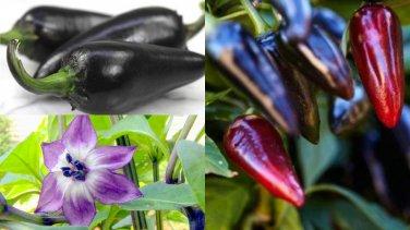 HEIRLOOM NON GMO Black Hungarian Pepper 25 seeds