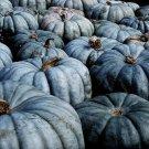 HEIRLOOM NON GMO Jarrahdale Blue Pumpkin 10 seeds