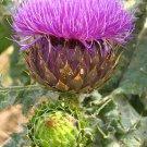HEIRLOOM NON GMO Cardoon Wild Artichoke 25 seeds