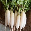 HEIRLOOM NON GMO White ICicle Radish 250 seeds