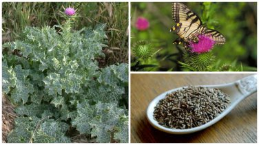 HEIRLOOM NON GMO Milk Thistle 50 seeds