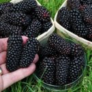 HEIRLOOM NON GMO Giant Blackberry 50 seeds