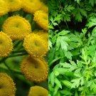 HEIRLOOM NON GMO  Mugwort 100 seeds