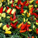 HEIRLOOM NON GMO Prairie Fire Ornamental Pepper 15 seeds