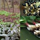 HEIRLOOM NON GMO Wild Leek 25 seeds