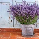 HEIRLOOM NON GMO Old Fashioned English Lavender 50 seeds