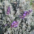 HEIRLOOM NON GMO Munstead Lavender 50 seeds