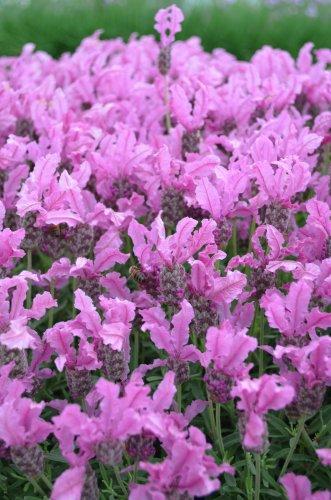 HEIRLOOM NON GMO Pink Lavender 50 seeds