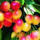 HEIRLOOM NON GMO Raineer Cherry 10 seeds