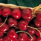 HEIRLOOM NON GMO Kristin Cherry 10 seeds