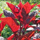 HEIRLOOM NON GMO Red Leaf Callaloo Chinese Spinach 1000 seeds