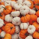 HEIRLOOM NON GMO baby Boo/Jack Be Little Miniature Pumpkin Mix 15 seeds