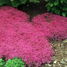 HEIRLOOM NON GMO Scarlet Thyme 1000 seeds