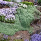 HEIRLOOM NON GMO Wooly Thyme 100 seeds