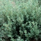 HEIRLOOM NON GMO Winter Thyme 1000 seeds