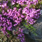 HEIRLOOM NON GMO Mother of Thyme 1000 seeds