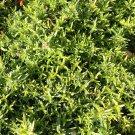 HEIRLOOM NON GMO Orange Thyme 1000 seeds