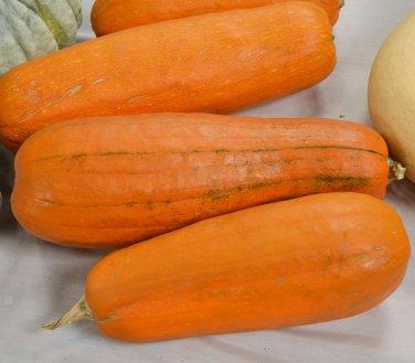 HEIRLOOM NON GMO Nantucket Long Pie Pumpkin 15 seeds