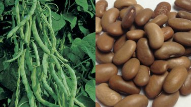 HEIRLOOM NON GMO Kentucky Wonder Pole Bean seeds