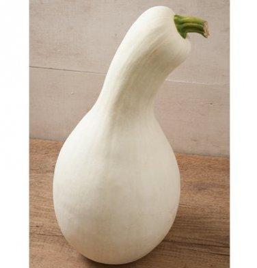HEIRLOOM NON GMO White Cushaw squash/pumpkin  15 seeds