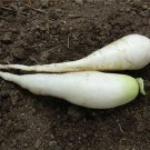 HEIRLOOM NON GMO White Icicle Radish 50 Seeds