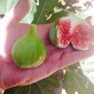 HEIRLOOM NON GMO Green Spanish Fig Tree 10 Seeds