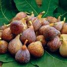 HEIRLOOM NON GMO Celest Fig 10 Seeds