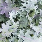 HEIRLOOM NON GMO Silver Winter Kale 100 seeds