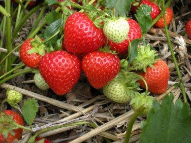 HEIRLOOM NON GMO Northern Sweet Strawberry 25 seeds