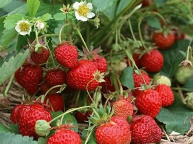 HEIRLOOM NON GMO Evie Everbearing Strawberry 25 seeds
