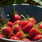 HEIRLOOM NON GMO Elan Strawberry 25 seeds