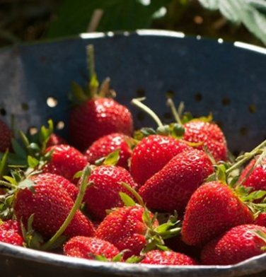 HEIRLOOM NON GMO Alyy Ogonek Giant Russian Strawberry 25 seeds