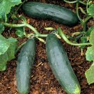 HEIRLOOM NON GMO  Long Green Ridge Cucumber 15 seeds
