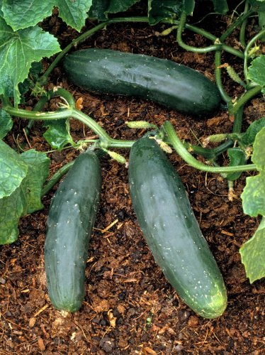HEIRLOOM NON GMO  Long Green Ridge Cucumber 15 seeds