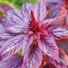 HEIRLOOM NON GMO Hopi Red Dye Amaranth 25 seeds