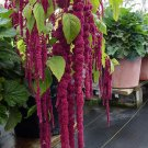 HEIRLOOM NON GMO Love-Lies-Bleeding - Red Amaranth 25 seeds