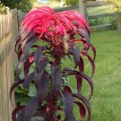 HEIRLOOM NON GMO Molten Fire Amaranth 25 seeds