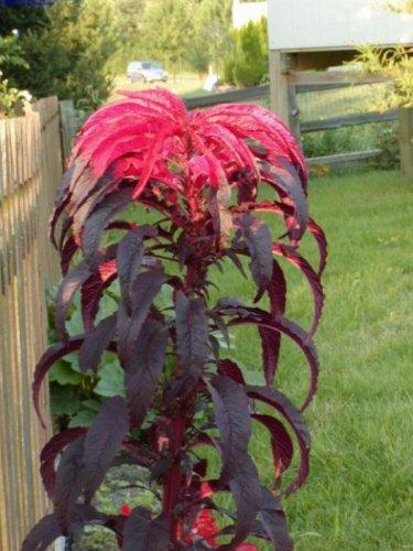 HEIRLOOM NON GMO Molten Fire Amaranth 25 seeds