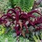 HEIRLOOM NON GMO Oeschberg Amaranth 25 seeds
