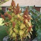 HEIRLOOM NON GMO Hot Biscuits Amaranth 25 seeds