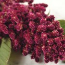 HEIRLOOM NON GMO Elena's Rojo Amaranth 25 seeds