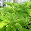 HEIRLOOM NON GMO Green Calaloo Amaranth 25 seeds