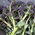 HEIRLOOM NON GMO Purple Sprouting Broccoli 100 seeds